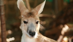 Antilopline Wallaroo