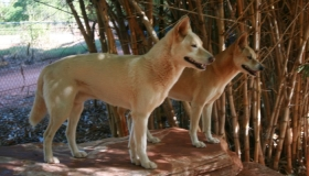 Pure Dingoes