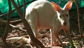 White Red Kangaroo